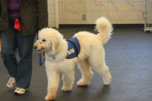Wyatt.....level 1 training.....5 month old goldendoodle
